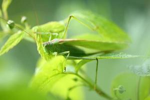 gräshoppa grön