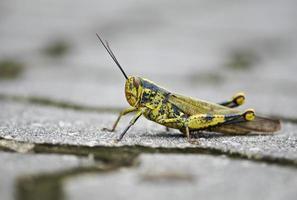 gräshoppa på marken