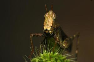 brun gräshoppa foto