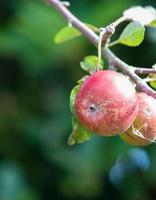 rött äpple som hänger från ett träd på en vacker dag foto