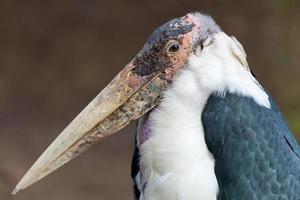 marabou stork - leptoptilos crumeniferus foto