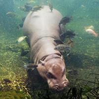 flodhäst amfibius, sydafrika foto