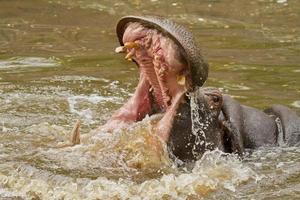 flodhästattack foto