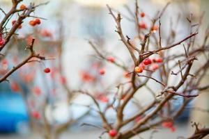 röda mogna crabapples på trädet foto
