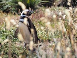 magellansk pingvin på falkland foto