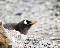gentoo pingvin foto