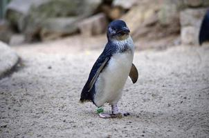 fairy pingvin foto