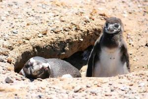 mamma och baby pingvin foto