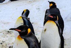 pingviner i den japanska zoo foto