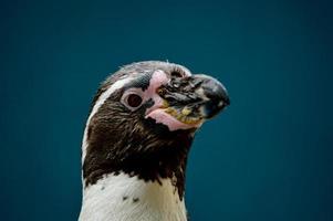 humboldt pingvin (spheniscus humboldti) foto