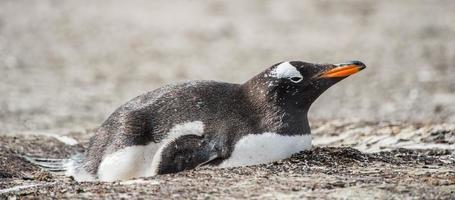 pingviner i antarktis foto