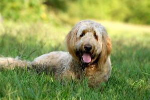 goldendoodle hund ligger i gräset foto