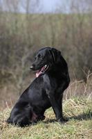 svart labrador foto