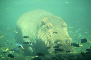 flodhäst under vattnet foto