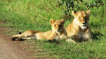 lejonungar i masai mara foto