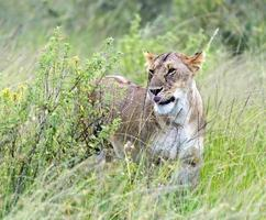 lejon masai mara foto