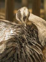 större rhea-grooming foto