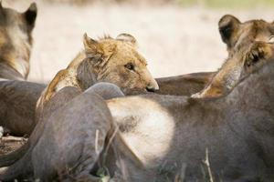 lejonstolthet vilar i skuggan foto