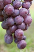 fruktträdgård av druvor foto