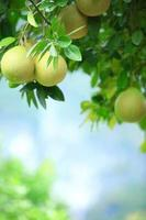 Shaddock frukt växer på träd foto