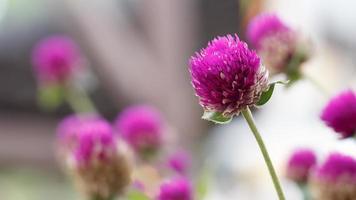 amarantblommor i trädgården med mjukt fokus foto