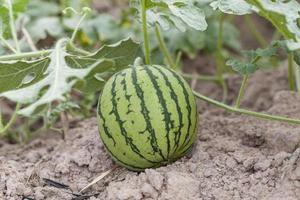 vattenmelon planterad i trädgården och väntar på att skördas. foto