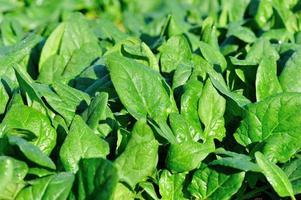 grön spenat i tillväxt på grönsaksträdgården