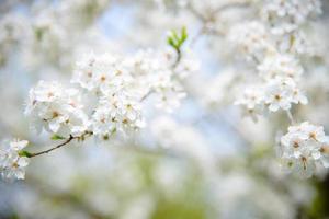 plommon blommar på våren