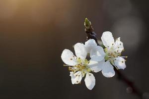 plommonträdblomma foto