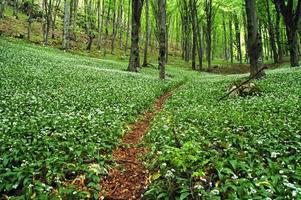 blommande vild vitlök i skogen foto