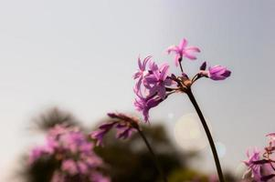 tulbaghia violaceae blomma samhälle vitlök foto