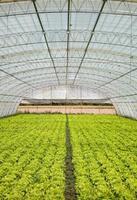 sallad i ett växthus foto