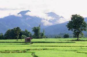 grönt risfält i Naan-provinsen, Thailand