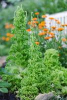 salat im garten (lollo bionda) foto