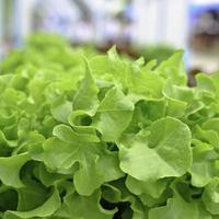 hydroponic färsk grön sallad foto