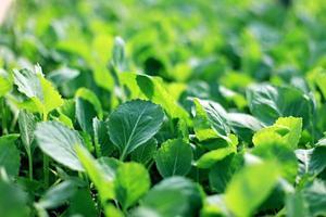 kålgrönsak. foto