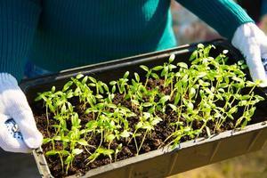 unga plantor i en behållare foto