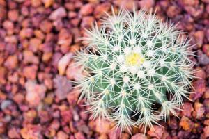 kaktus på röda stenar. foto