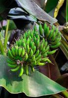 banan träd