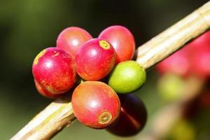 kaffeträd foto