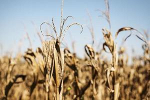 torrt och döende majsfält foto