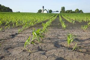 majsfält med vattenskador foto