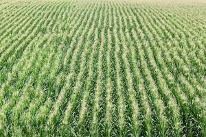 jordbruk, majsfält foto