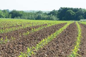 majsfält med skog foto