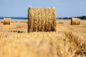skördade kuperade vetefält med halmbal foto