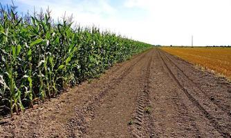 majsfält och fältet med klippt gräs foto