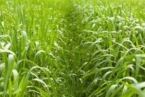 stig över majsfält foto