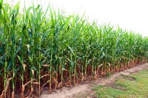 majsfält i Alabama foto