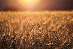 vacker solnedgång över vete fält
