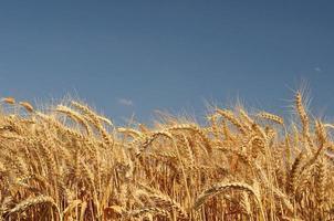 gyllene vetefält med blå himmel i bakgrunden foto